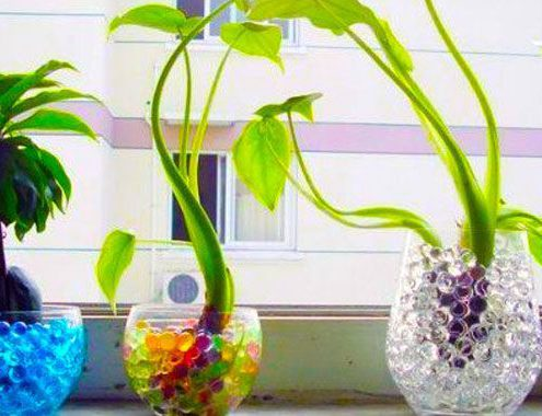 how to grow money plant faster in water